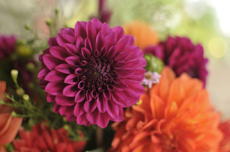 September Dahlias (2)