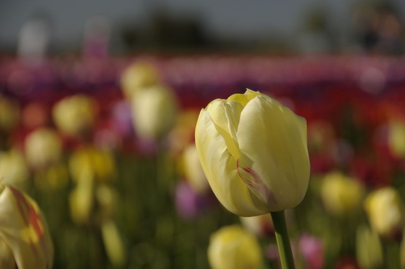 Tulip Fields (23)